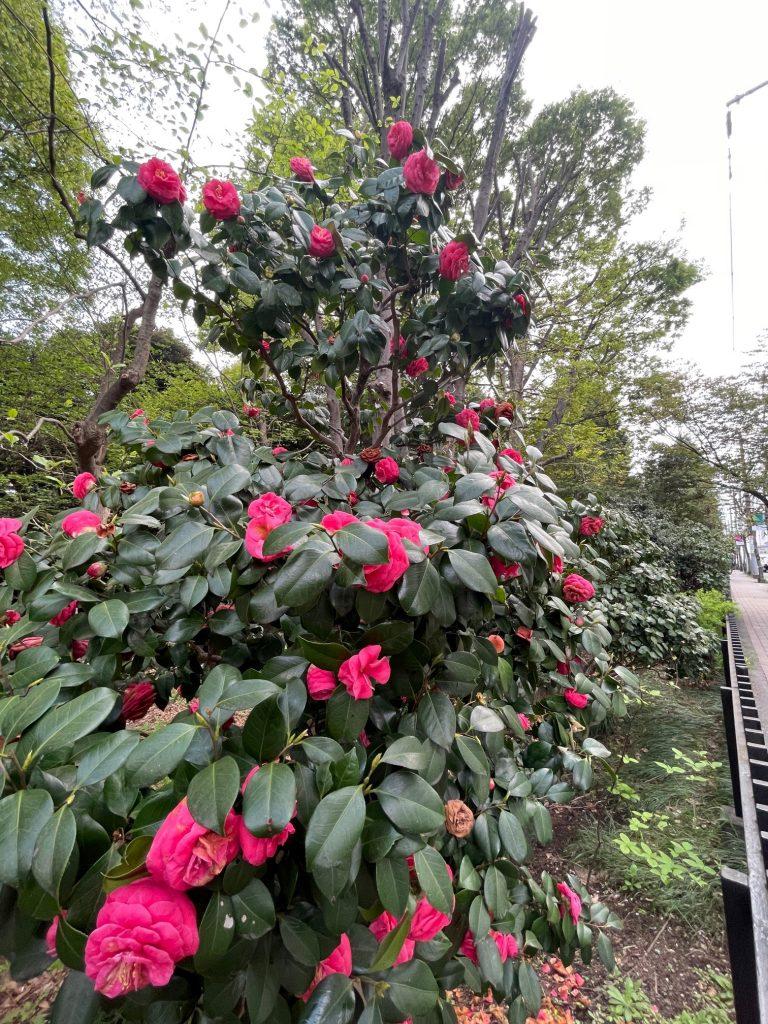 都立殿ヶ谷戸庭園。2021年4月当社撮影。